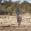 Oryx in Etosha National Park