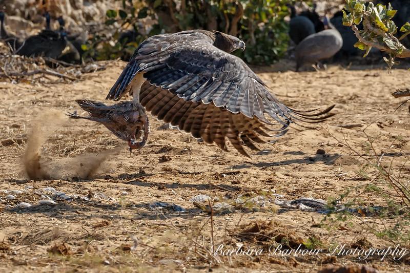 Tawny Eagle with Guinea fowl