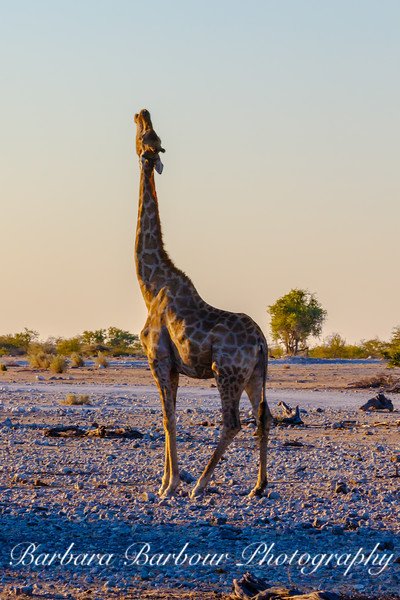 Giraffe stretching upwards
