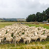 Sheep at farm, NZ