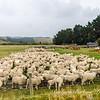 Sheep at farm, NZ