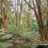Golden barks on trees, Rotorua