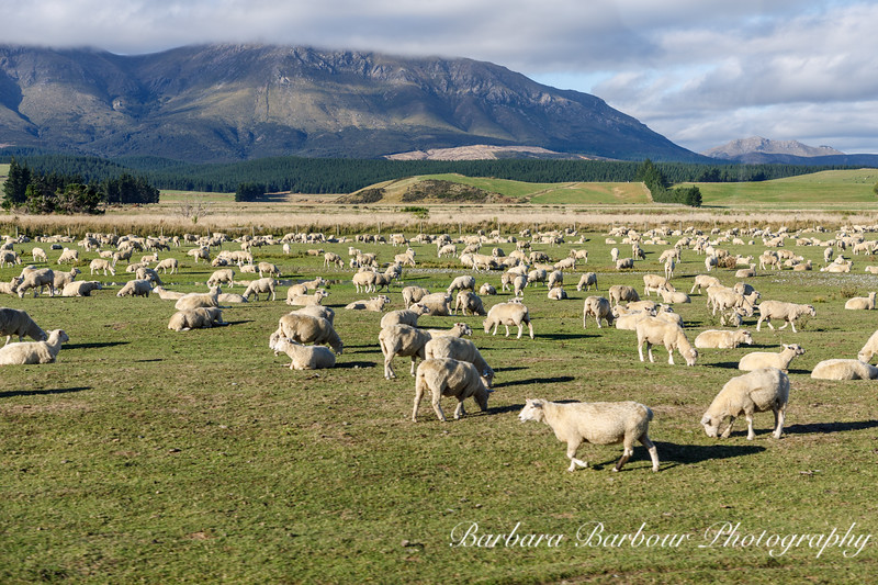 Sheep grazing, NZ
