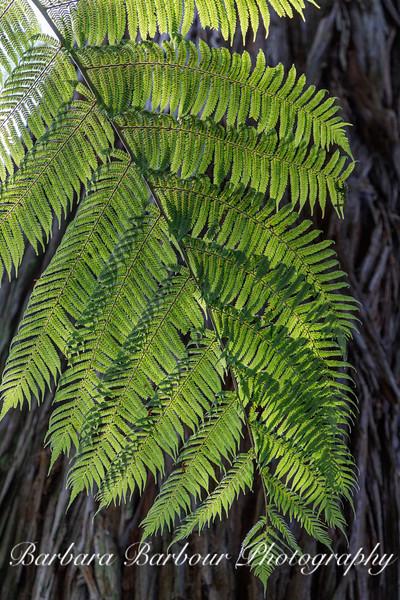 Silver Fern, NZ
