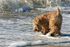 Wheaten Terrier dog playing in surf