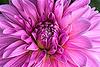 Dahlia, A Gardener's Dream