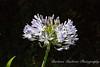 Purple-white flower in Sherman Oaks, California