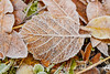 Frosty leaf in Autumn