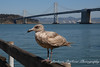 Juvenile Herring Gull by San Francisco Bay, California