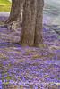 Fallen purple leaves from Jacaranda Tree, Sherman Oaks, California