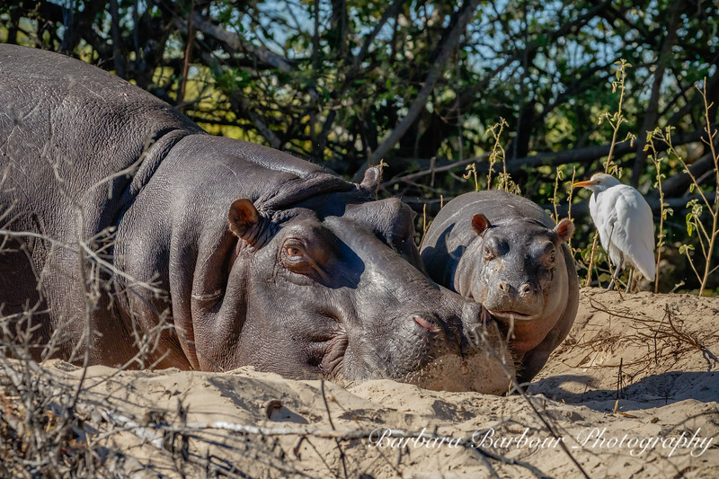 Hippo mother and baby on land