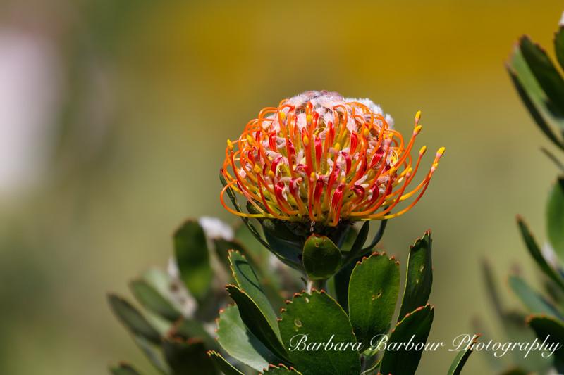 Pincushion Protea Flower, Kirstenbosch Gardens
