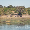 Line of Elephants, Chobe