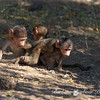 Cluster of baby Baboons