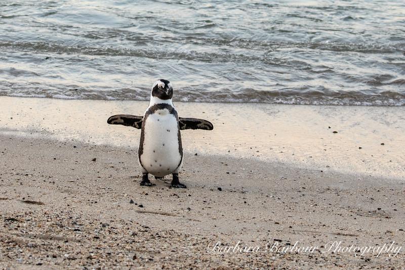 Penguin,  Boulder Beach