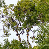 Tree with fruit bats