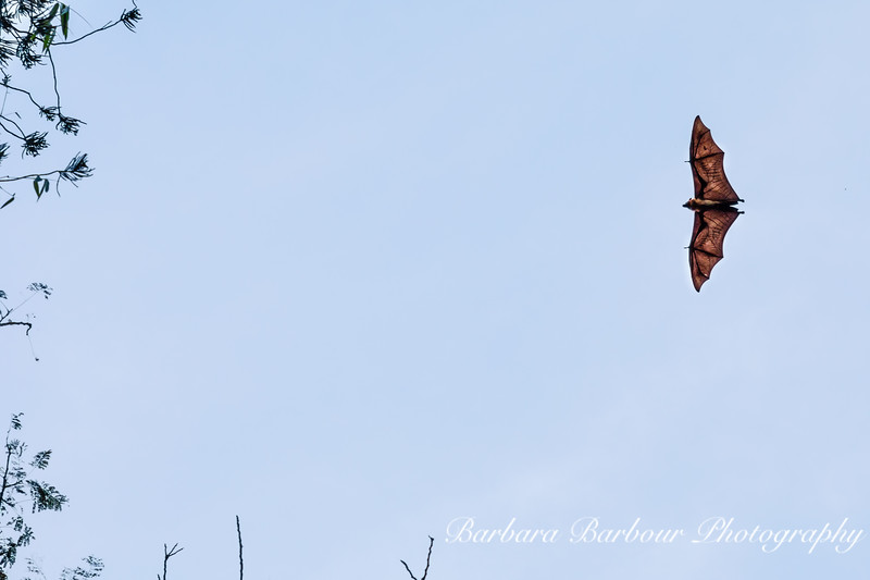 Soaring fruit bat, Sri Lanka
