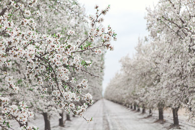 Almond Orchards-2