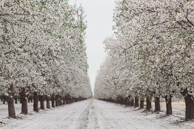 Almond Orchards-9
