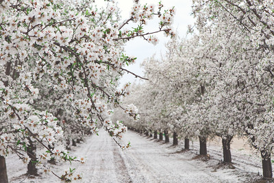 Almond Orchards-1