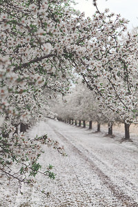 Almond Orchards-4