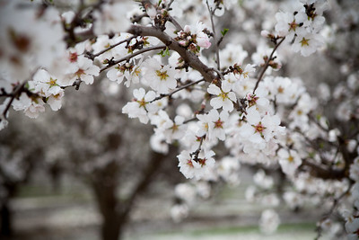 Almond Orchards-15