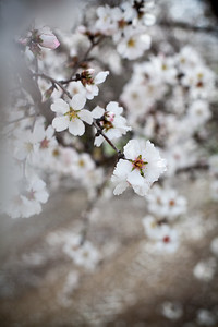 Almond Orchards-16