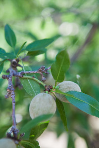 Almond Orchards-11