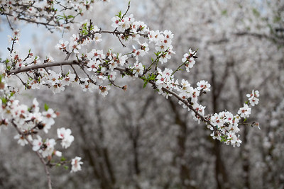 Almond Orchards-20