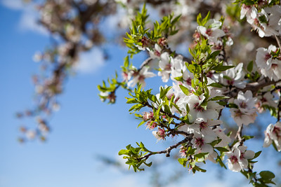 Almond Orchards-26