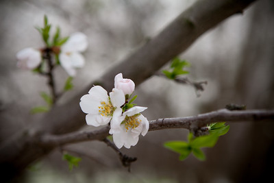 Almond Orchards-17