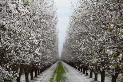 Almond Orchards-22