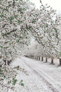 Almond Orchards-3
