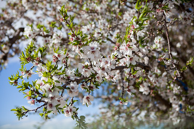 Almond Orchards-24
