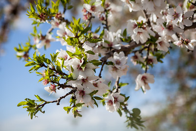 Almond Orchards-25