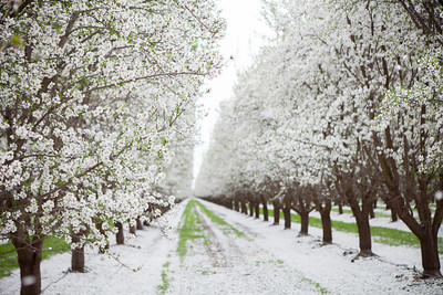 Almond Orchards-8
