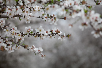 Almond Orchards-21