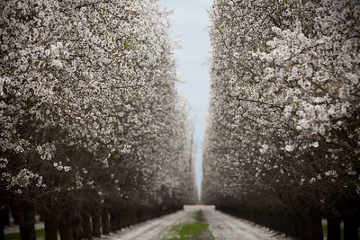 Almond Orchards-19