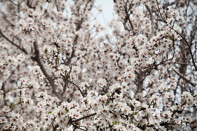 Almond Orchards-18