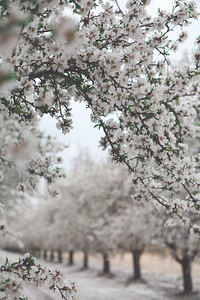 Almond Orchards-6
