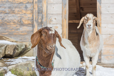 Kim Greenberg Farm Animals-13