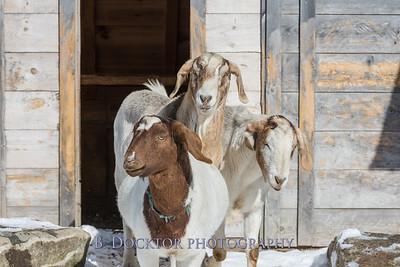 Kim Greenberg Farm Animals-11