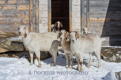 Kim Greenberg Farm Animals-16
