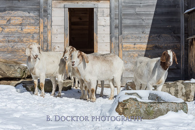 Kim Greenberg Farm Animals-21