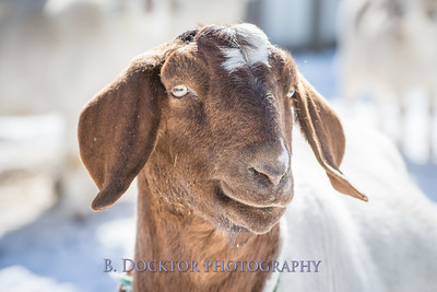 Kim Greenberg Farm Animals-15