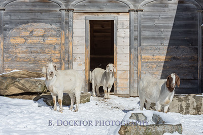Kim Greenberg Farm Animals-24