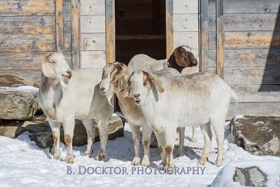 Kim Greenberg Farm Animals-19