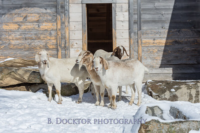 Kim Greenberg Farm Animals-18