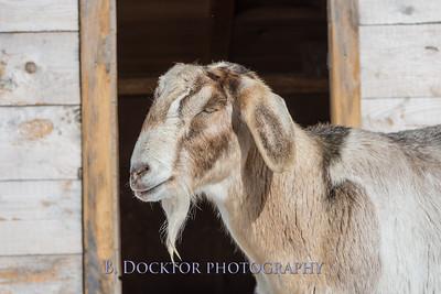Kim Greenberg Farm Animals-14