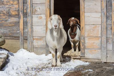 Kim Greenberg Farm Animals-30